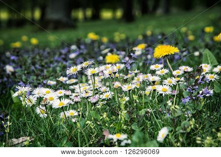 Ox-eye daisies and yellow dandelions in the meadow. Close up natural scene.