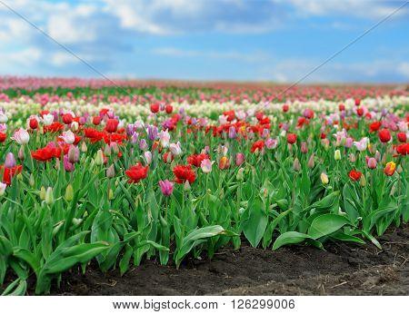 Tulips In Spring Field