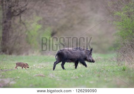 Wild Boar With Piglet On Meadow