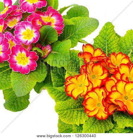 Colorful fresh primrose isolated on white