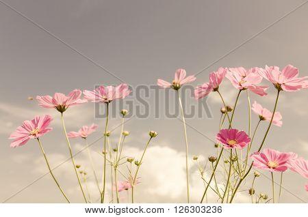 Vintage Cosmos Flower.