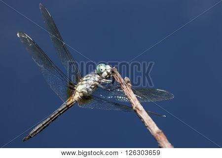 Blue eyed dragonfly seen from the bottom from a quartering view
