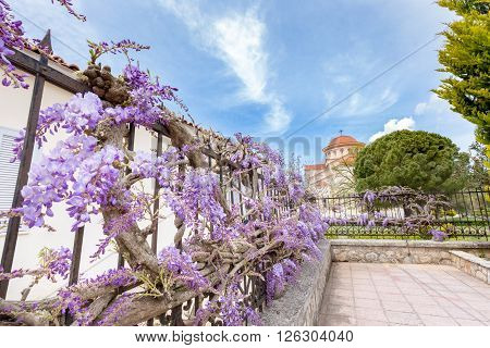 Blooming blue Wisteria sinensis on fence in Kefalonia Greece
