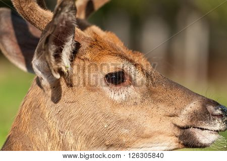 closeup portrait of a profile White-tailed deer in the fields