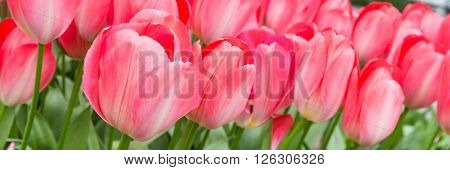 Vibrant colorful panoramic holiday or birthday background with beautiful closeup pink tulips flowerbed