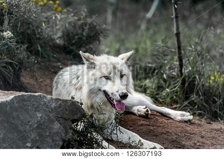 Wild gray wolf in the fields of Quebec country