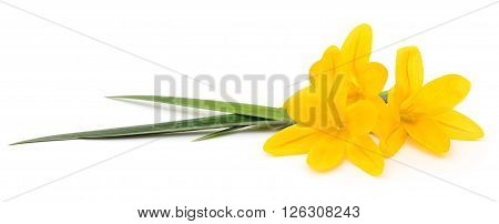 Three yellow flowers isolated on white background.