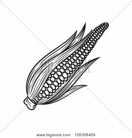 Corn. Vector hand drawn corn illustration isolated on white background - stock vector