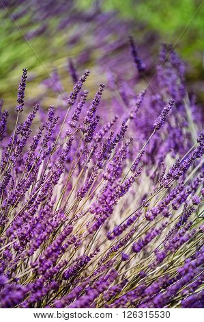 Blooming Bright Purple Lavender Flowers in Provence, France. Summer season. Close up. ** Note: Shallow depth of field