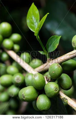 Coffee series : Closeup of fresh green coffee berries
