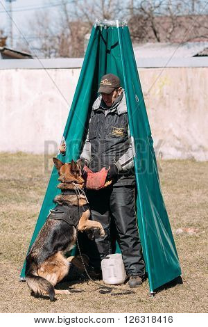 Gomel, Belarus - March 27, 2016: German shepherd dog training in Gomel Regional sports club and decorative dog-breeding. Bitting dog.