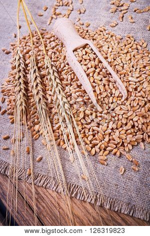 Grain scoop, wooden spoon, ears of wheat, wheat grain on sackcloth, grain yield, organic food, fabric texture, kitchen utensils, health food, a scattering of wheat.