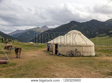 Traditional Mongol Nomad Housing assembled on Green Meadow among High Mountain Hills in Kyrgyzstan and a Bicycle lean on it and Cows passing by