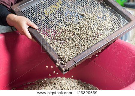 Coffee series : Worker sorting raw coffee beans
