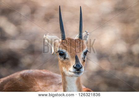 Steenbok Starring In The Kruger National Park.