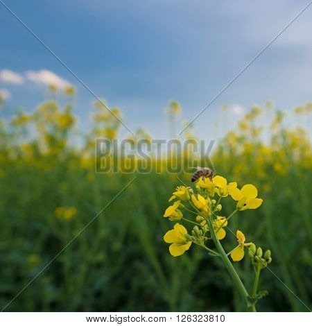 Bee on rapeseed flower, pollination under blue sky. Agricultural landscape.