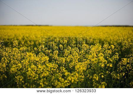 Rapeseed field, landscape with yellow rape flowers and blue sky.