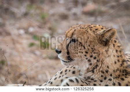 Side Profile Of A Cheetah In The Kruger National Park.