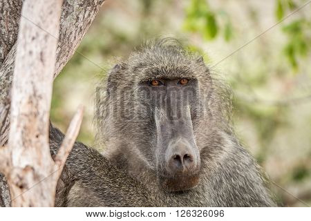 Starring Baboon in the National Park South Africa.