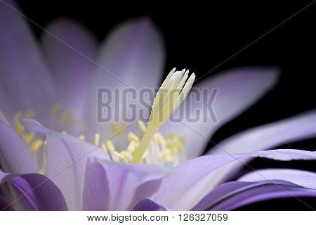pistil echinopsis eyriesii flower blooming succulent plant