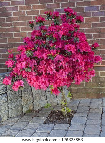 Azalea bush in bloom in a yard with sand set bricks