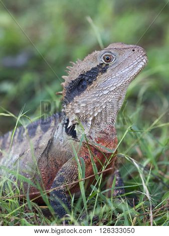 funny unusual beautiful cute gray lizard with black stripes and a red breast looks out from the green grass Australia