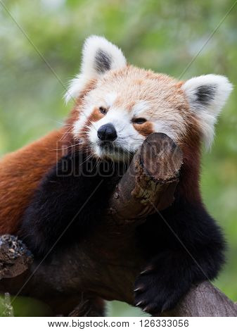 funny furry slow beautiful cute red panda ears with white and black legs sitting in a tree at the zoo Australia
