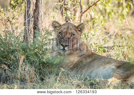 Lioness Laying With A Dirty Face In The Kruger National Park.
