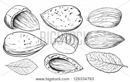 Almond on white background. Almond seeds. Engraved raster illustration of leaves and nuts of Almond. Isolated almond.