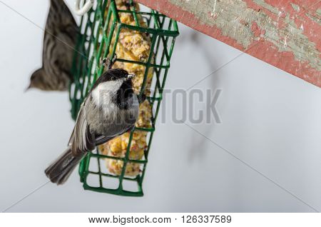 Springtime comes, Black cap chickadee, Poecile atricapillus, on a suet feeder.  Grey spring day in early April.  Happy that the day is mild and anticipating the arrival of spring.