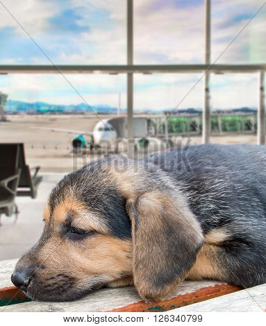 puppy dog abandoned at the airport because it is banned from flying with the pet by the pet policy