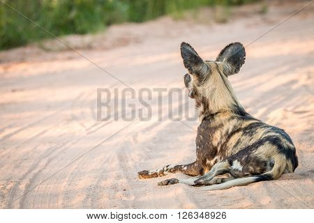 African Wild Dog Laying In The Sand In The Kruger National Park.