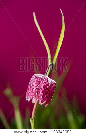 Snake's head fritillary isolated on colored background. Chess flower.