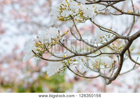 Pink trumpet tree flower blooming in summer Tabebuia rosea Pink Flower neotropical tree Rosy trumpet tree.
