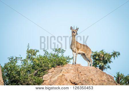 Klipsrpinger On The Rocks In The Kruger National Park.