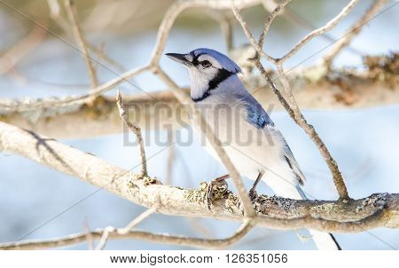 Blue Jay (Cyanocitta cristata) in early springtime, perched on a branch, observing and surveying his domain.