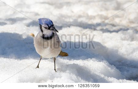 Springtime Blue Jay (Cyanocitta cristata) on melting corn snow,  attracted by offerings of peanuts, a favorite treat.