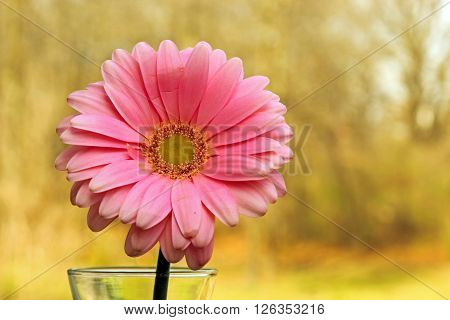 A pink Gerber Daisy on a green background with copy space selective focus.