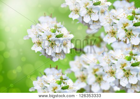 Plum blossoms over blurred nature background/ Spring flowers/Spring Background with bokeh