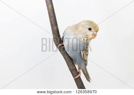 Little Cute Budgerigar