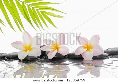 Plumeria and wet black stones with green palm