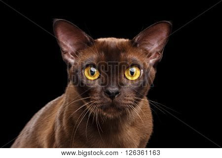 Closeup Portrait of Burmese Cat Curious Looking in Camera Isolated on black background
