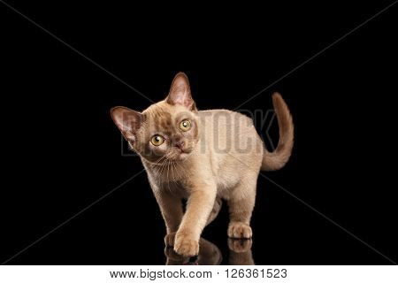 Playful Burmese kitten with beige fur on Isolated black background Walking and Curiously Looking up with interest