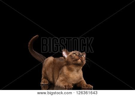 Playful Burmese kitten with Chocolate fur on Isolated black background Curiously Looking up and showing claw on paws and raised tail