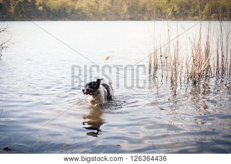 English Setter shaking off water in a lake