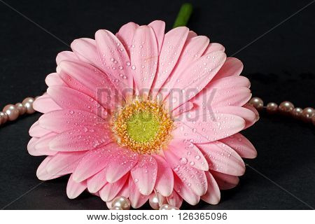 A closeup of a pink Gerber Daisy with water drops and a string of pearls.