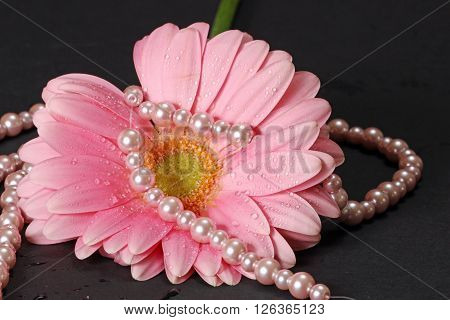 A wet pink Gerber Daisy with pearls on a grey background.