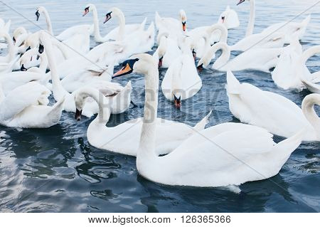 Flock of swans in the city river
