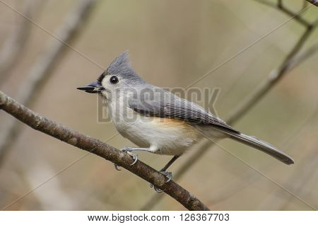 Tufted Titmouse with a seed on a branch.