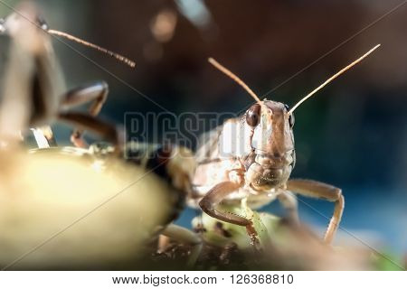 closeup portrait of locusts looking at the camera